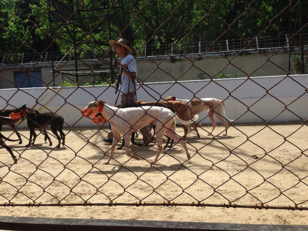 Canídromo | Último dia de adopção de galgos no domingo