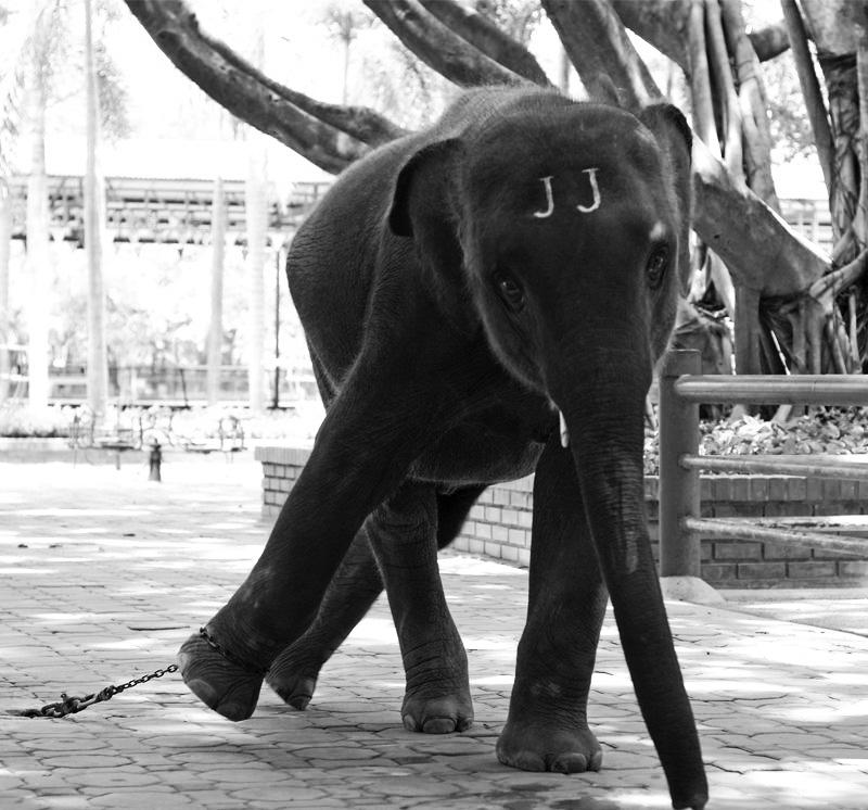 Animais | Diversões turísticas na Ásia levam ao sofrimento de milhares