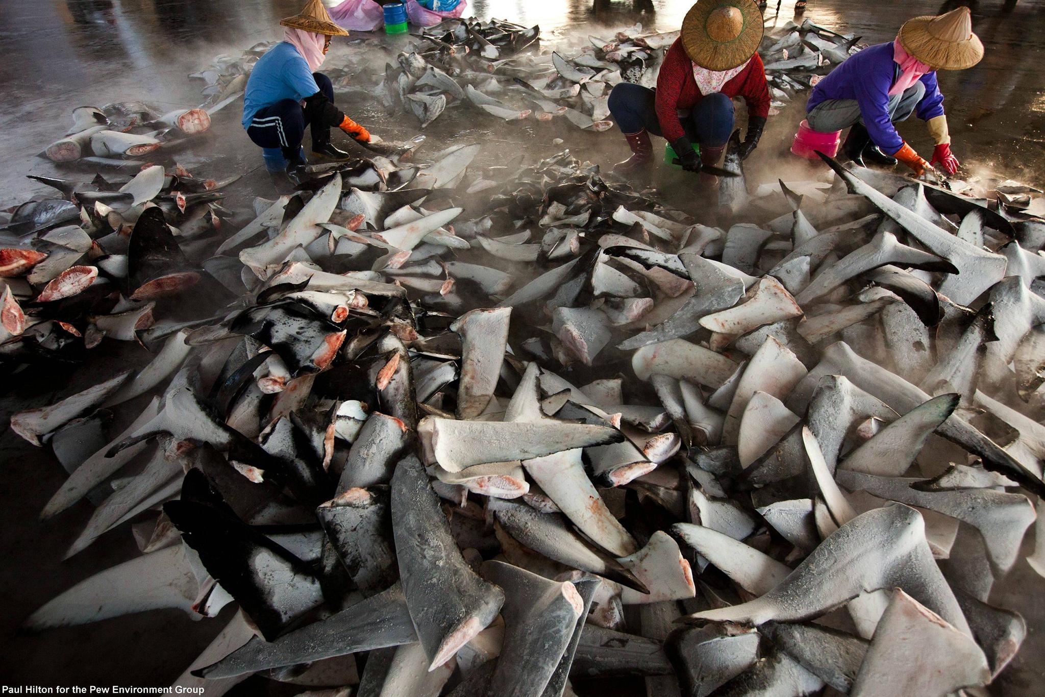 Pescadas dezenas de toneladas de tubarão em águas timorenses