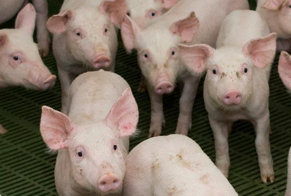 Carne de porco | Prevista manutenção de preços até Ano Novo Chinês