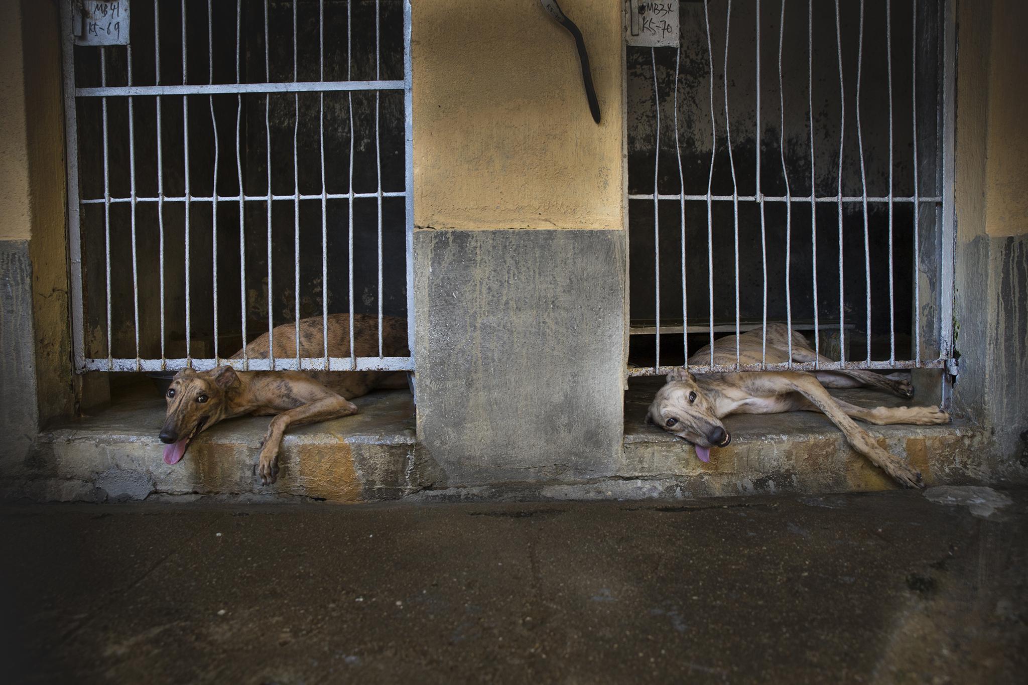 Canídromo   Cuidado e alojamento dos cães motiva queixa no CCAC