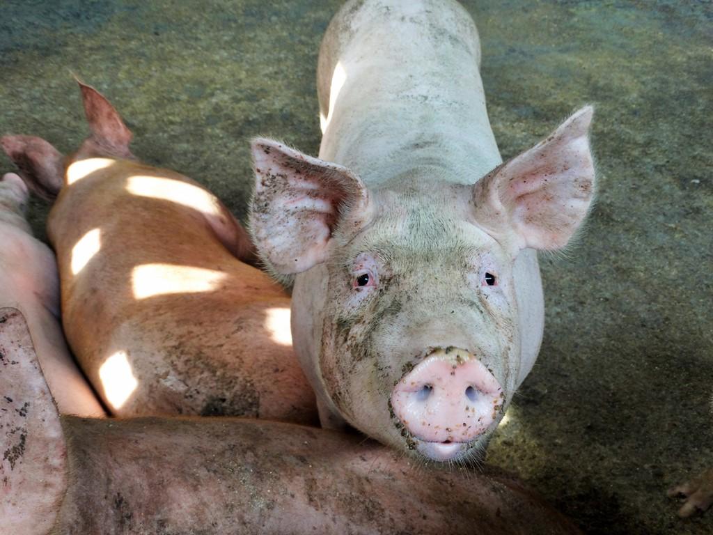Peste suína alastra-se a todo o continente chinês com surtos no extremo noroeste