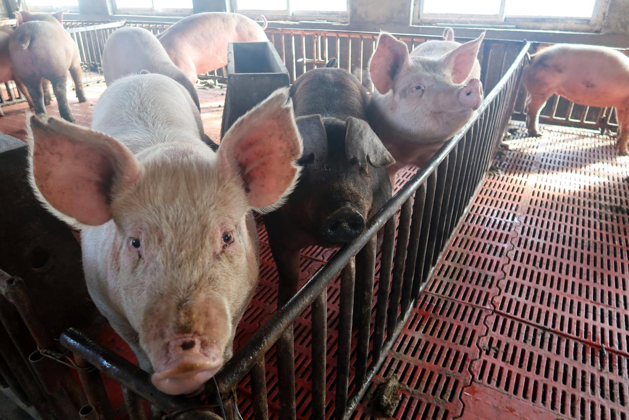 Segurança alimentar   Surto de peste suína reduz abastecimento para Macau