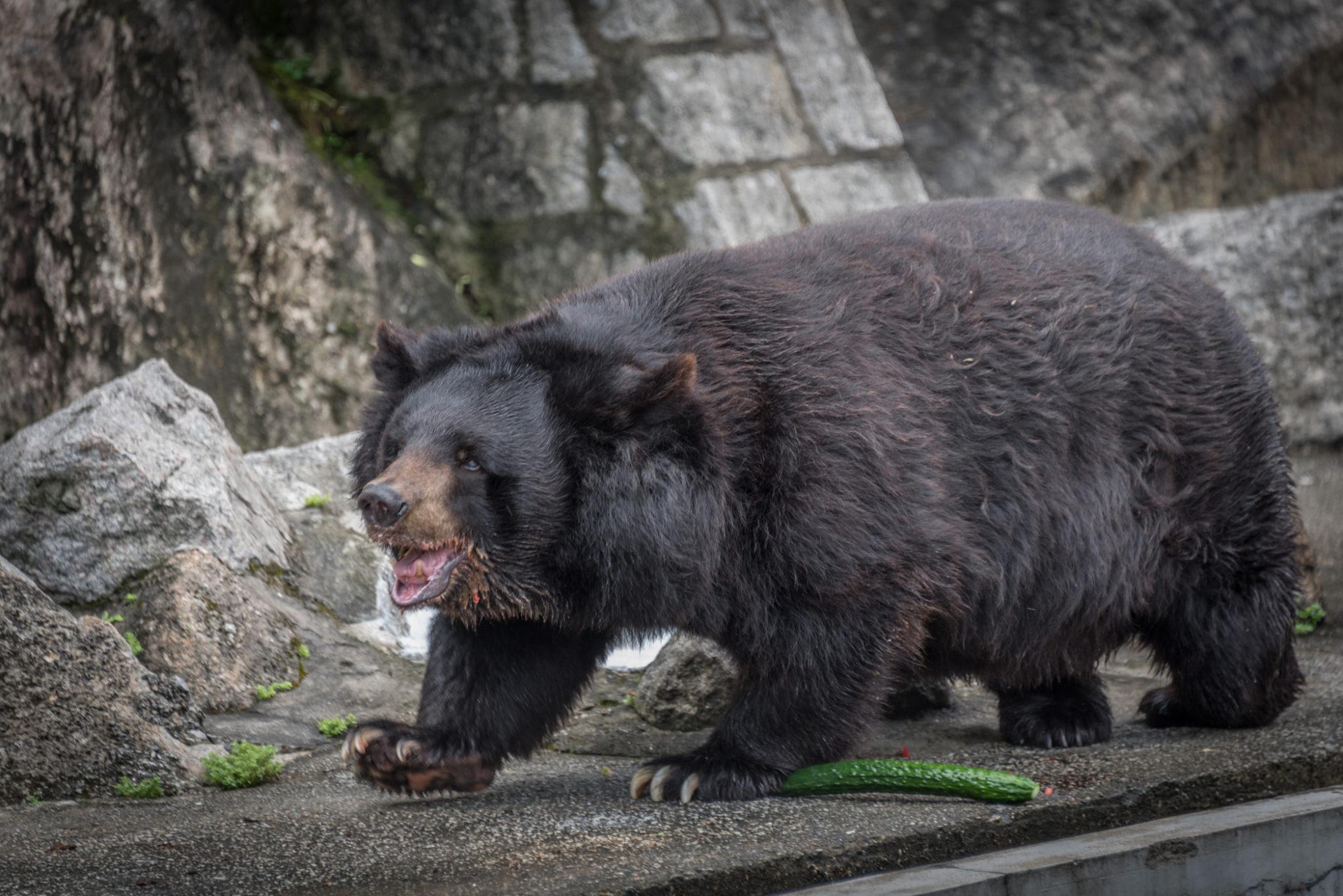 Memória | Urso Bobo morreu aos 35 anos e vai ser embalsamado