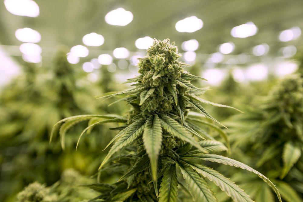 Tailândia   Marijuana legalizada para fins medicinais