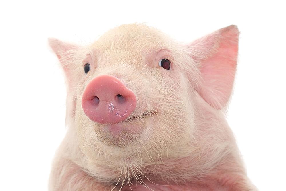 As previsões para o Ano do Porco Terra