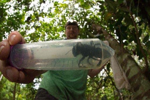 Maior abelha do mundo redescoberta na Indonésia