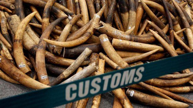 Contrabando  Alfândegas interceptam 7,48 toneladas de presas de elefante