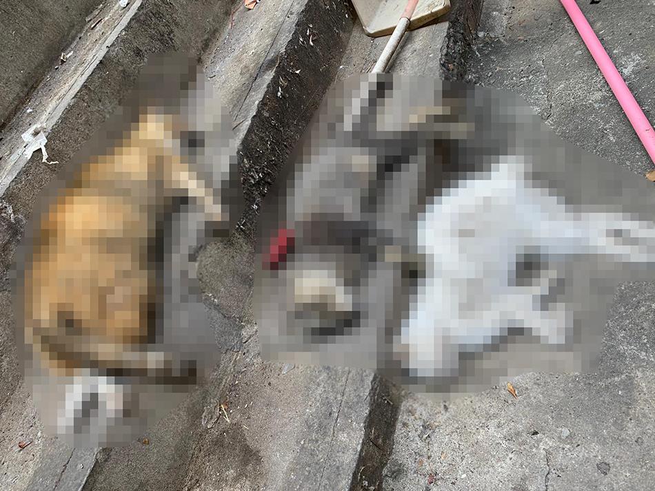 ANIMA | Encontrados mais três gatos mortos no bairro do Iao Hon